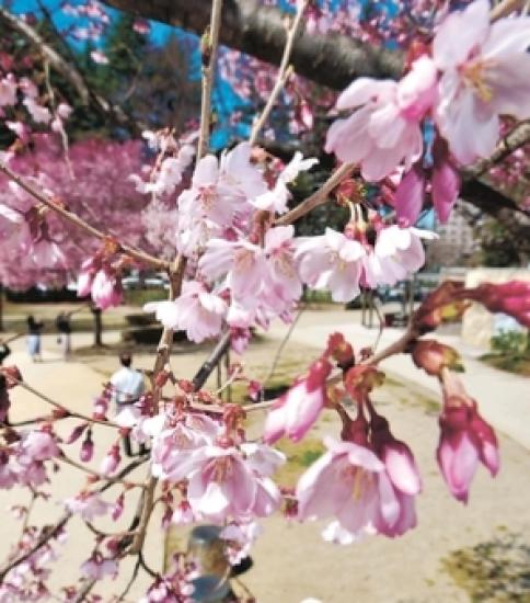 桜 開花!